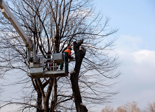 This is a picture of a tree pruning.